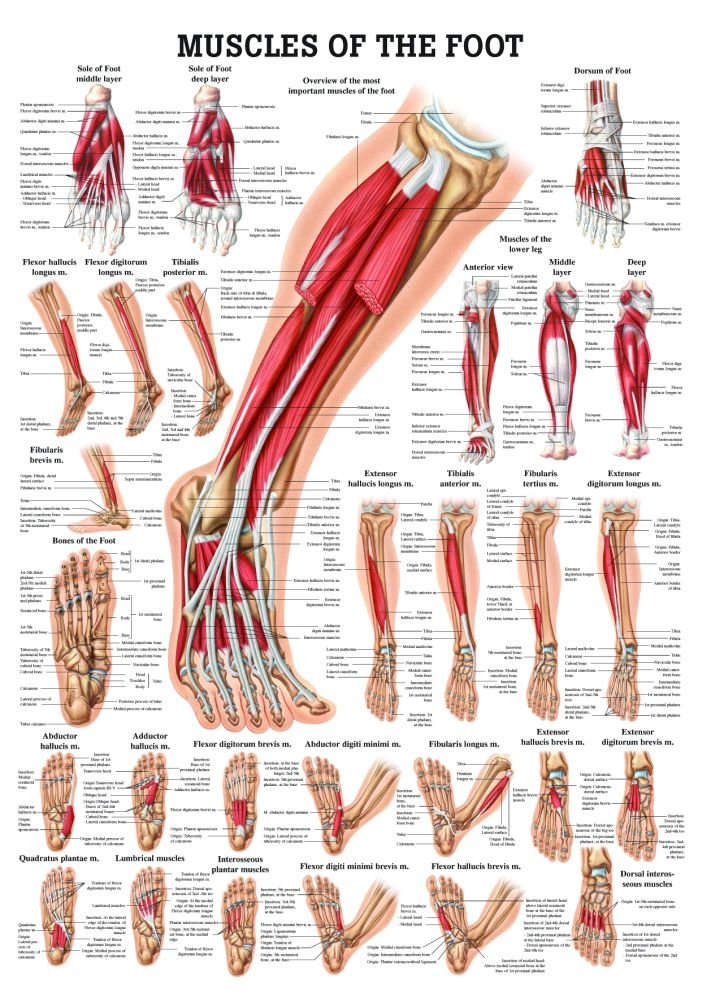 Amazon Muscles Of The Foot Laminated Anatomy Chart Toys Games