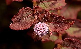PLAT FIRM: 20 punzonatura BLS ons Persicaria Capitata Seeds + Regalo