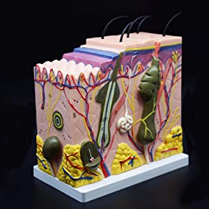 Skin Model, 50X Enlarged Anatomical Model Anatomy for Science Classroom Study Display Teaching Medical Model