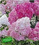 """BALDUR-Garten Freiland-Hortensie""""Vanille Fraise"""" im 2-Liter Hydrangea paniculata 1 Pflanze"""