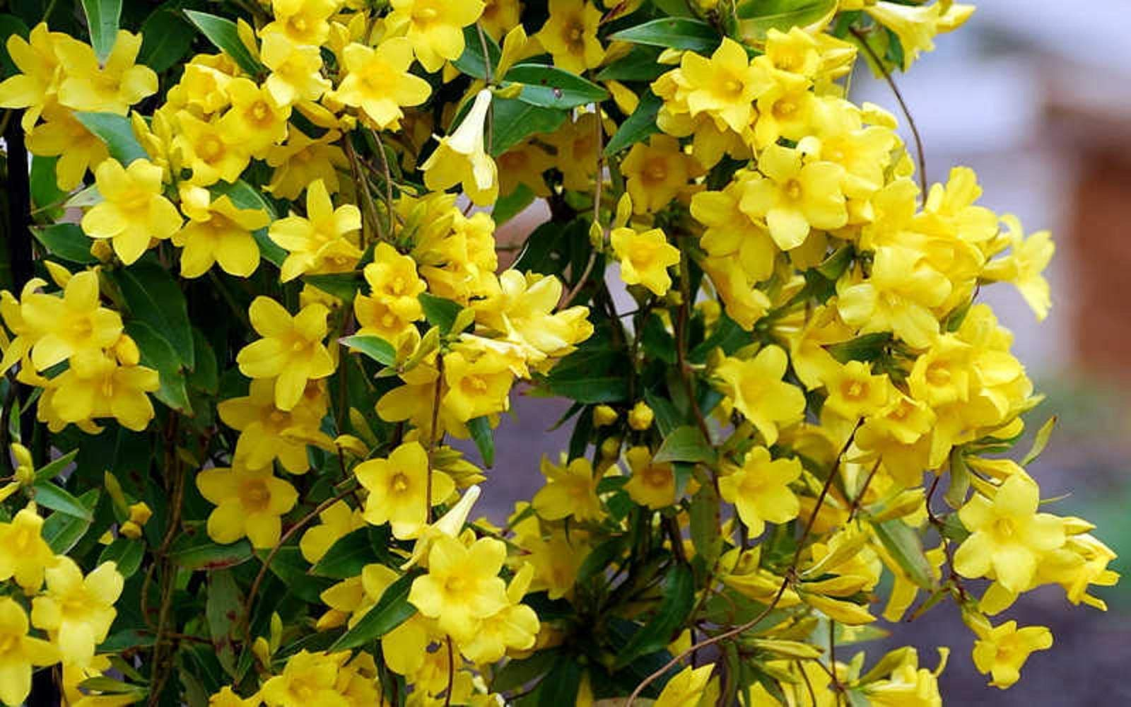 Yellow Carolina Jasmine Vine - 1 Live Plant - Trade Gallon Pot Home Garden
