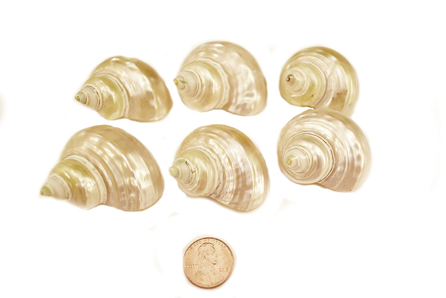 Set of 6 Polished Gold Turbo Shells 1 1/2 - 2 (5/8 - 7/8 opening) Crafts Hermit Crabs Florida Shells and Gifts Inc.