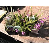 6 MIXED HEATHERS FOR ALL YEAR ROUND COLOUR from 9CM POT