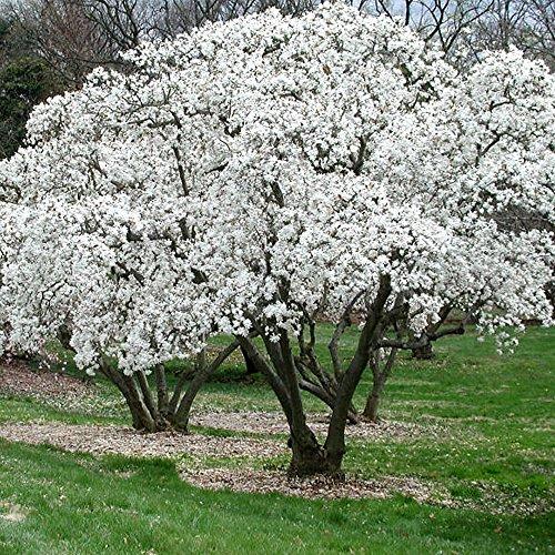 1 X Magnolia STELLATA Starry Magnolia DECIDUOUS Shrub Hardy Garden Plant in Pot