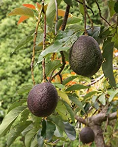 M-Tech Gardens Rare Exotic Dwarf Avocado Fruit Persea Americana Plant (1 Healthy Plant)