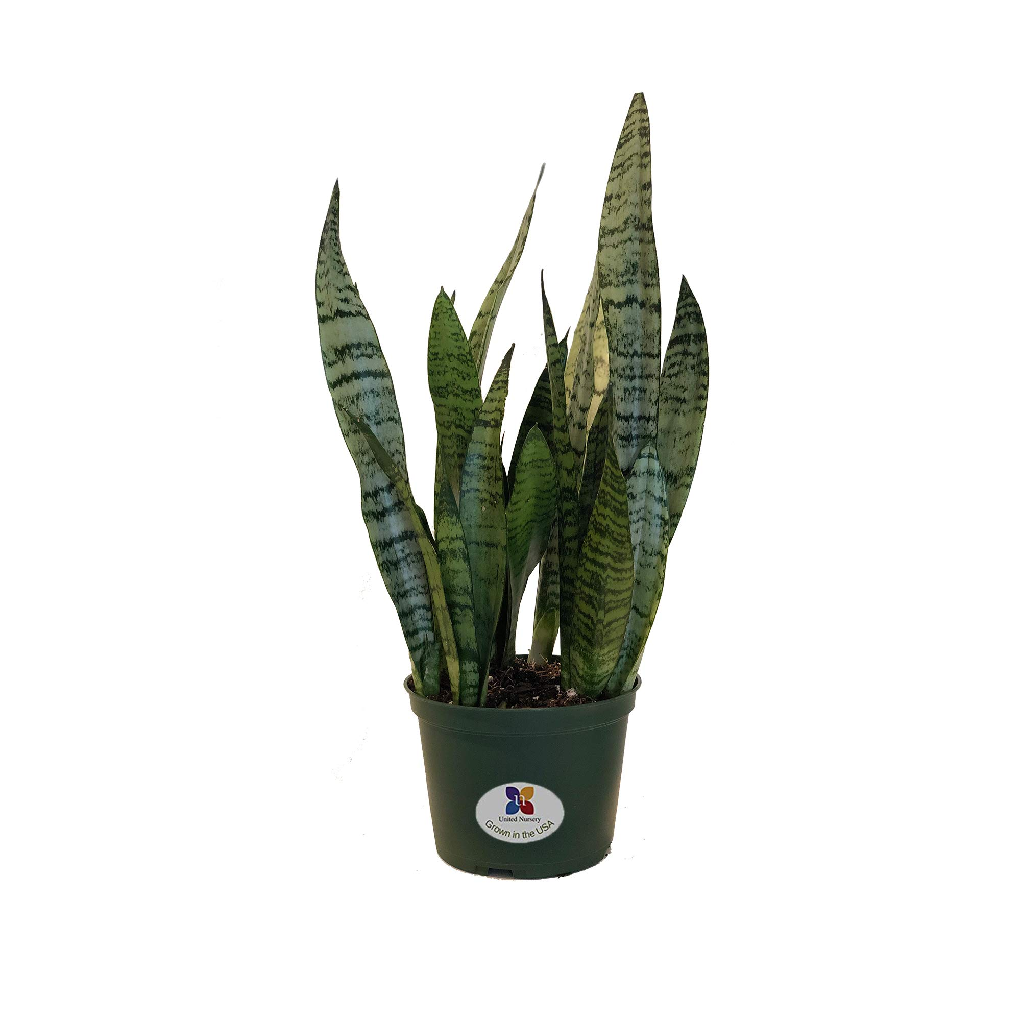United Nursery Sansevieria Zeylanica Live Indoor Snake Plant Shipped in 6 inch Grower Pot 18-22 inch Shipping Size
