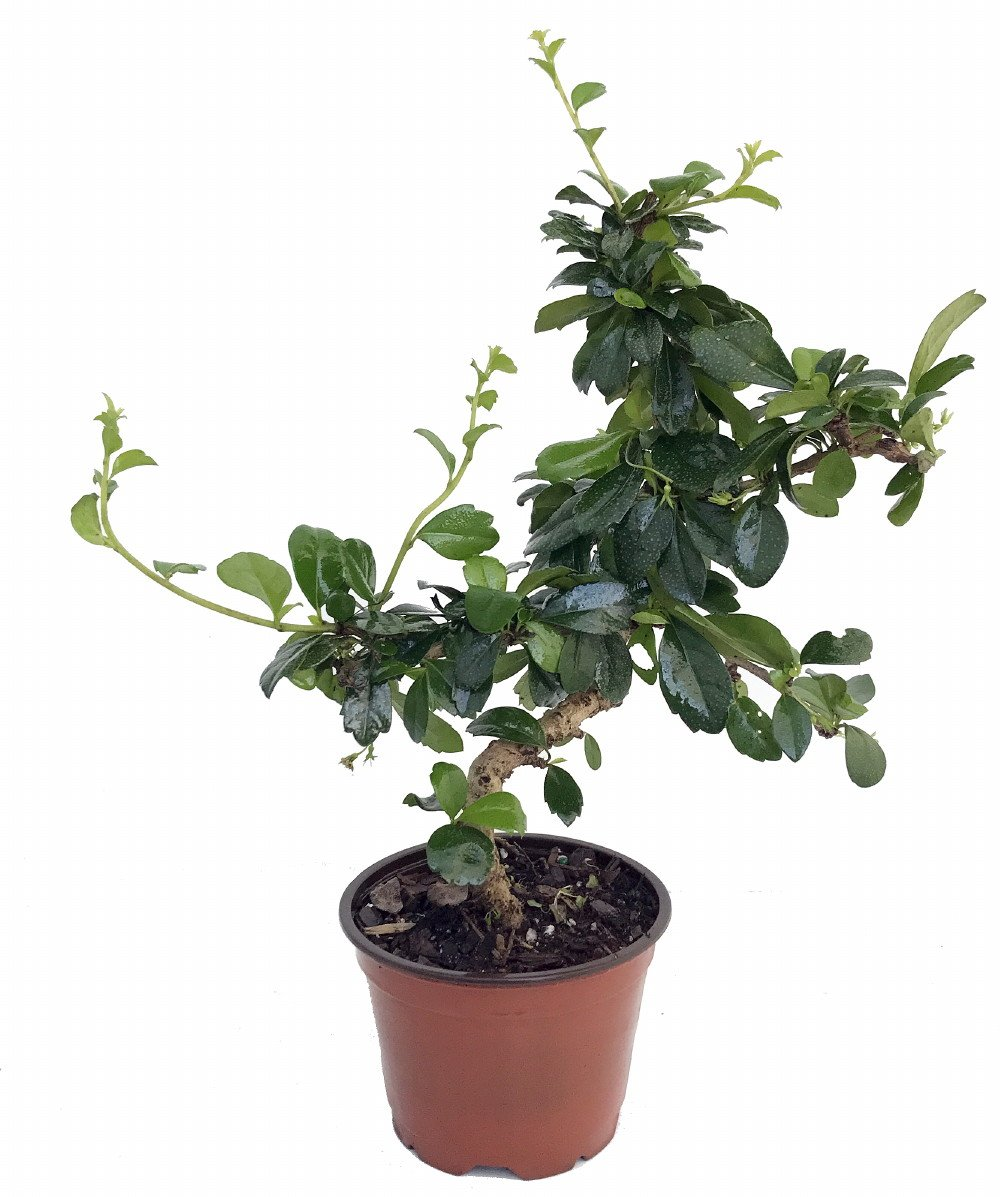 Stylized Imported Fukien Tea Bonsai Tree - Carmona
