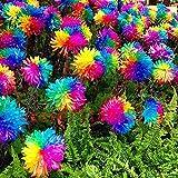 200 pcs Rainbow Chrysanthemum Flower Seeds,daisy rare color ,best gift seeds for DIY Home Garden kids love this rainbow plant