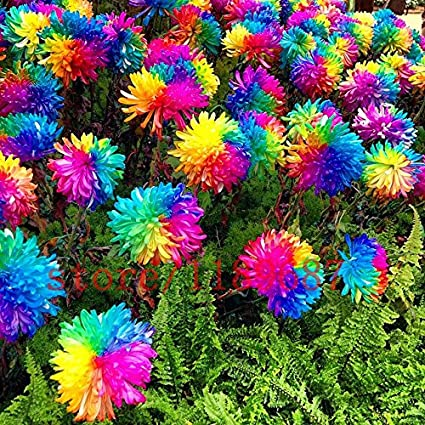 Rainbow Chrysanthemum Flower Seeds Rare Color Home Garden Planting BIN C0W1 B1X6