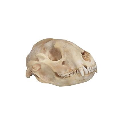 Raccoon Skull Taxidermy
