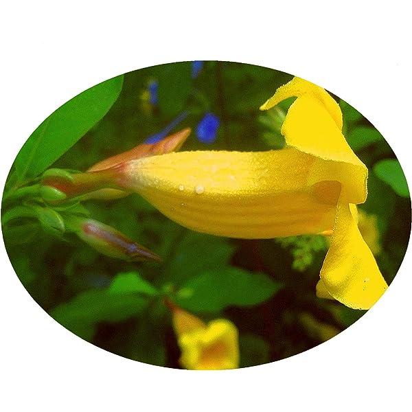 Amazon Com Yellow Bush Allamanda Live Semi Tropical Plant Shrub