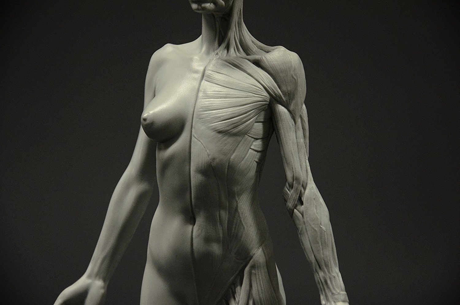 Female Anatomy Figure 105 Inch Anatomical Reference For Artists