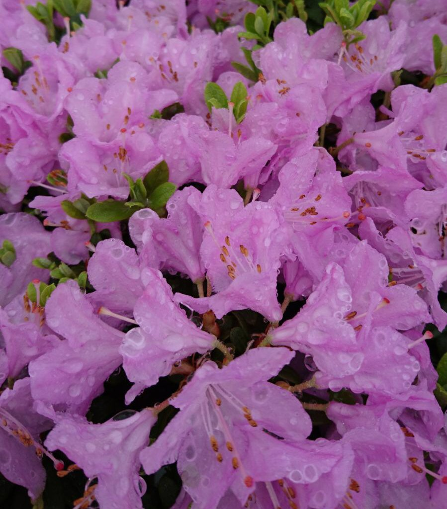 9cm Pot Dwarf Rhododendron Snipe Large Pink Flowers Shrub Plant B&R Direct