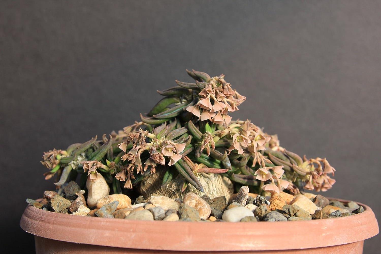 Euphorbia cylindrifolia tuberifera exotic madagascar  rare bonsai seed 5 seeds