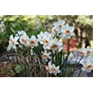 5 x Jonquil 'Bell Song' (Narcissus) Bulbs (Free UK Postage)