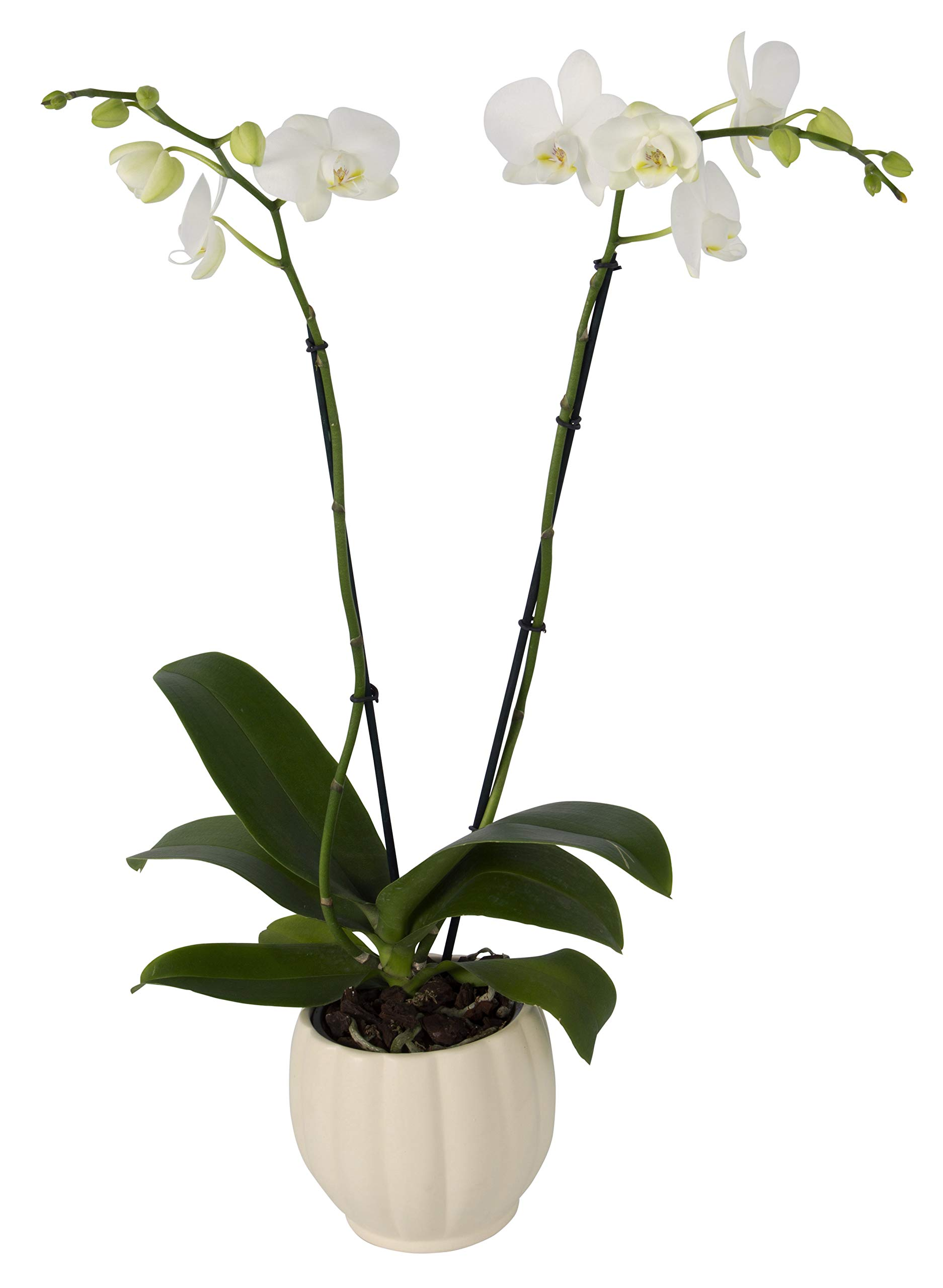 Color Orchids Live Blooming Double Stem Phalaenopsis Orchid Plant in Ceramic Pot, 20'' - 24'' Tall White