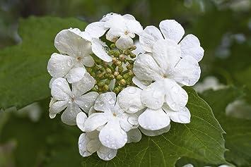 1 Guelder Rose Hedging Plant Viburnum Opulus Native HedgeFlowers Berries 2ft 3fatpigsR