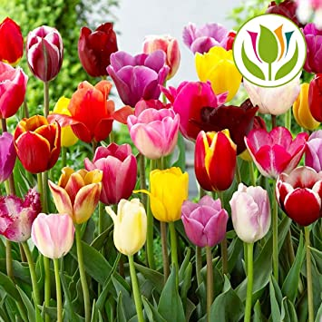 Tulip Tall Mixed Triumph Long Stem Bed Border Spring Flowers Bulbs