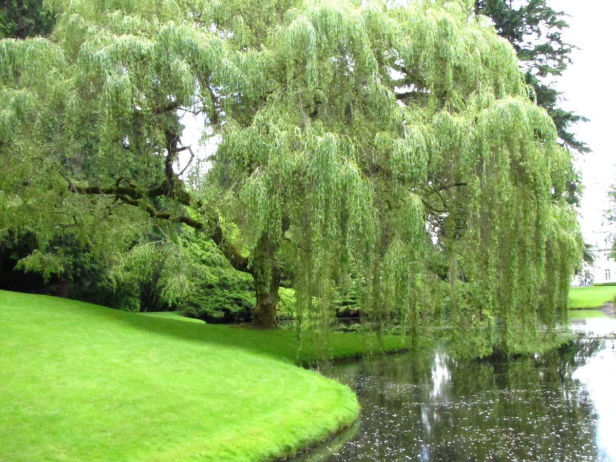 Amazon Com Weeping Willow Tree 6 Inches Tall Garden Outdoor