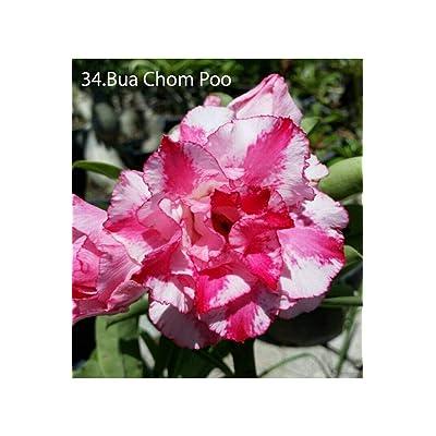 Succulent &Cactus, Adenium obesum no34 bua chompu, Desert Rose USA : Garden & Outdoor