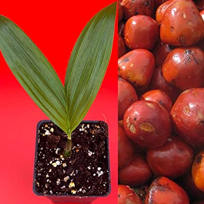 Shopvise Pejibaye Peach Bactris Gasipaes Palm Round Vitamin A Fruit Seeds: Home & Kitchen