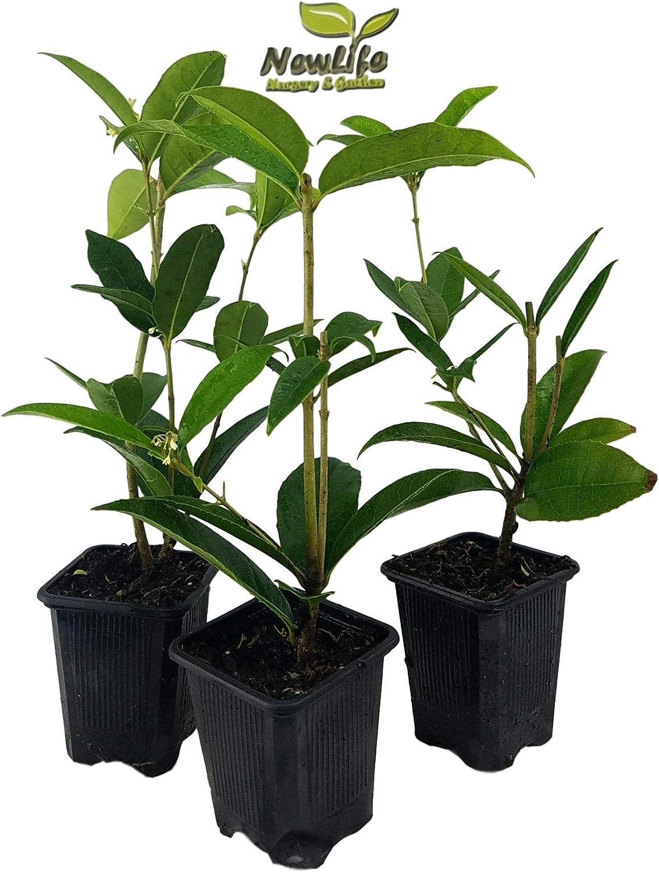 - Fragrant Tea Olive Live Plant Pack of 3 3 Inch Pot 3