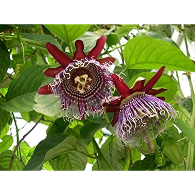 Passiflora Quadrangularis - Giant Granadilla - Rare Tropical Plant Seeds (5) : Garden & Outdoor