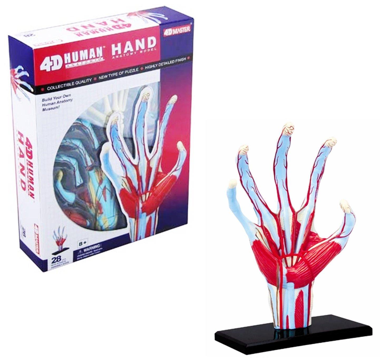 Amazon 4d Human Hand Fingers Muscle Bones Body Anatomy 3d