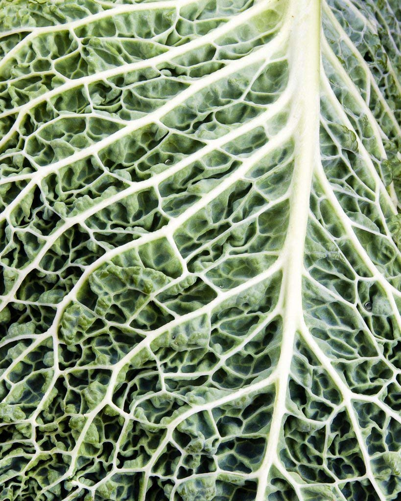 Amazon Com Savoy Cabbage Leaf Fine Art Botanical Photography Print For Home Decor Wall Art Handmade