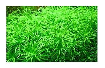 10 Limnophila sessiliflora algas musgo semillas acuario #287: Amazon.es: Jardín