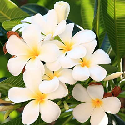 White Hawaiian Plumeria Frangipani 2 Cuttings LL45 : Garden & Outdoor