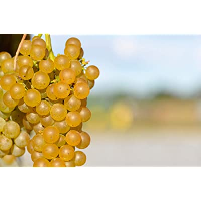 (2 Gallon) Vidal Blanc Grape, Productive White Wine Grape. Vidal can Produce a semi-Dry varietal Wine and is Often Blended with Other White hybrids. : Garden & Outdoor