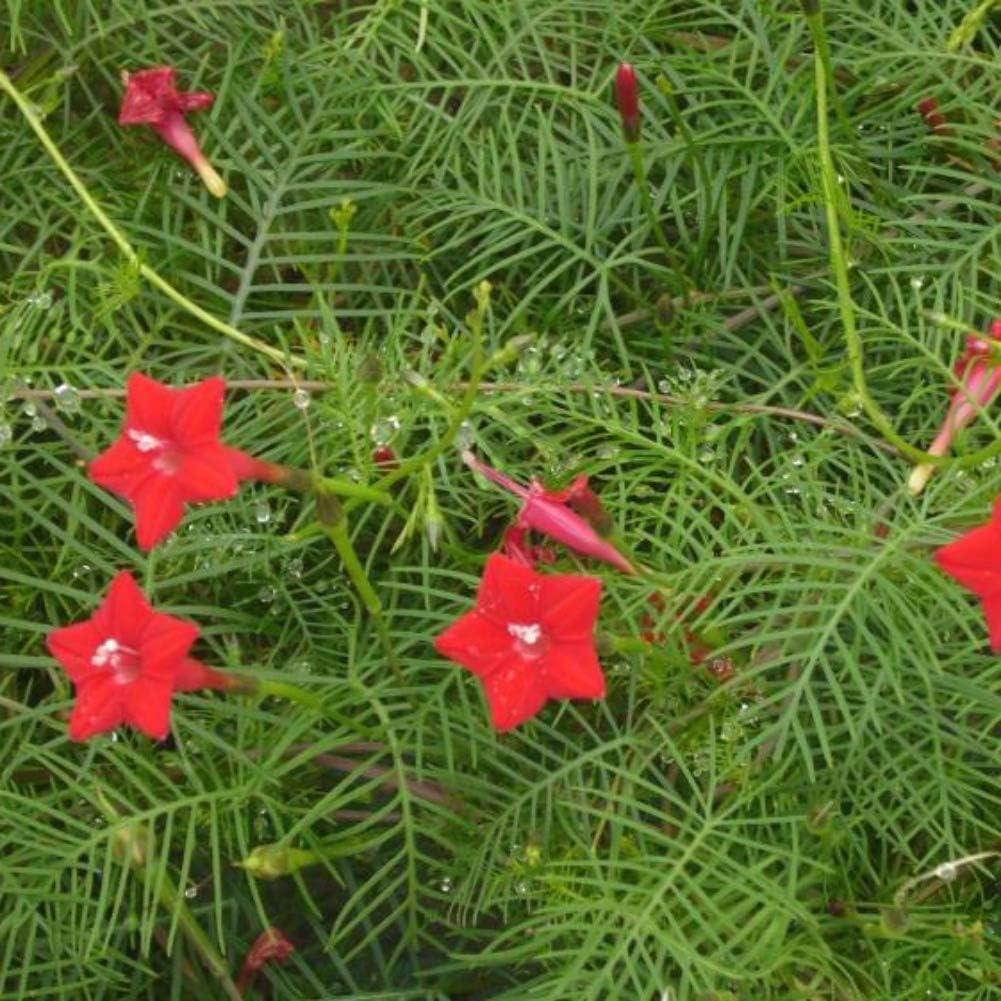 MOCRIS Cypress Vine Seeds Planta Trepadora Anual Jardín de Flores Decoración para el Hogar Decoración de Jardín Bonsai: Amazon.es: Jardín