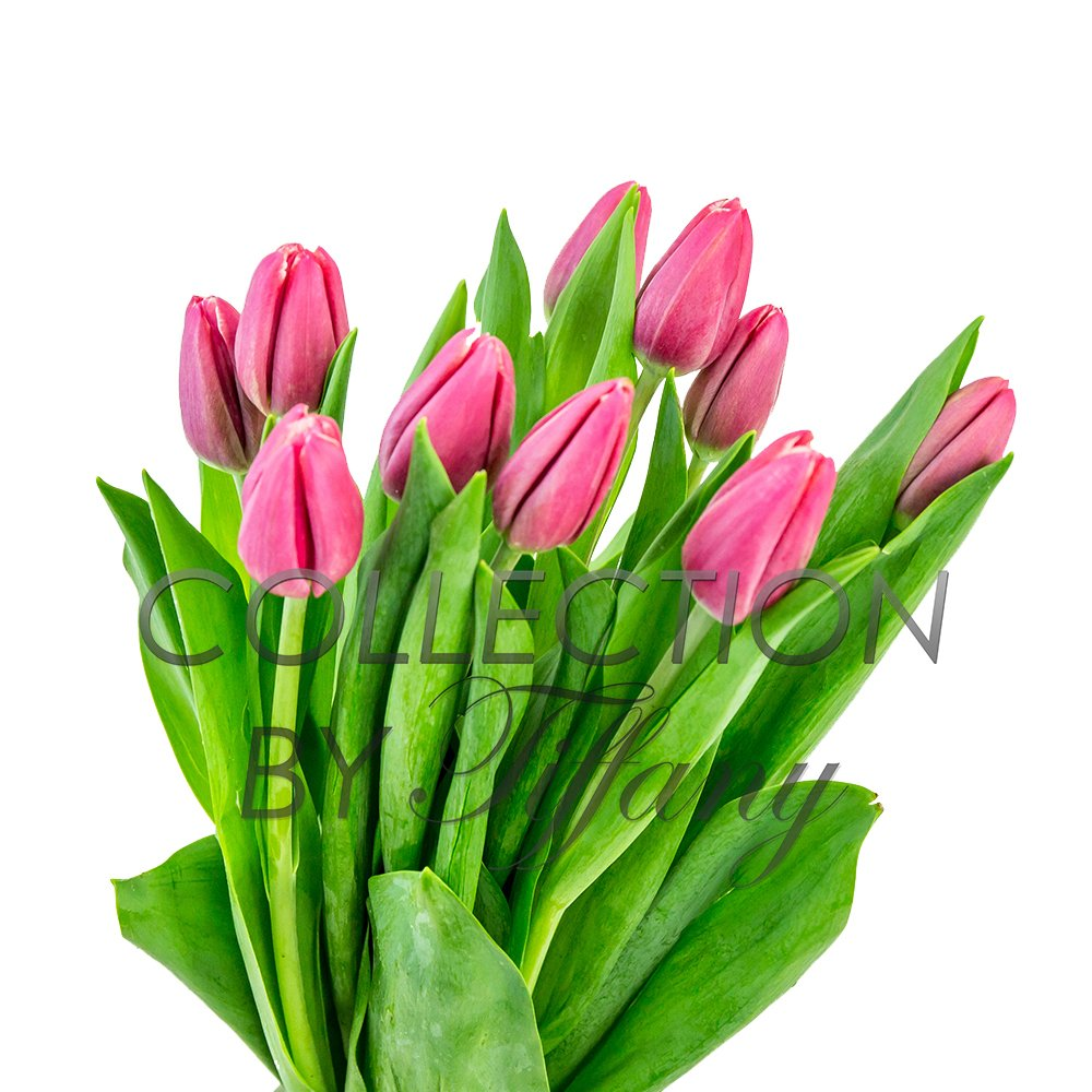 Tulip Fresh Festive Color 10st/Bunch Beautiful Wedding Event Everyday Occcasion Gift (Pink)