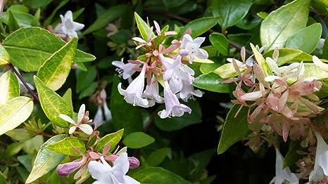 Amazoncom Abelia Grandiflora Francis Mason Variegated Abelia 1
