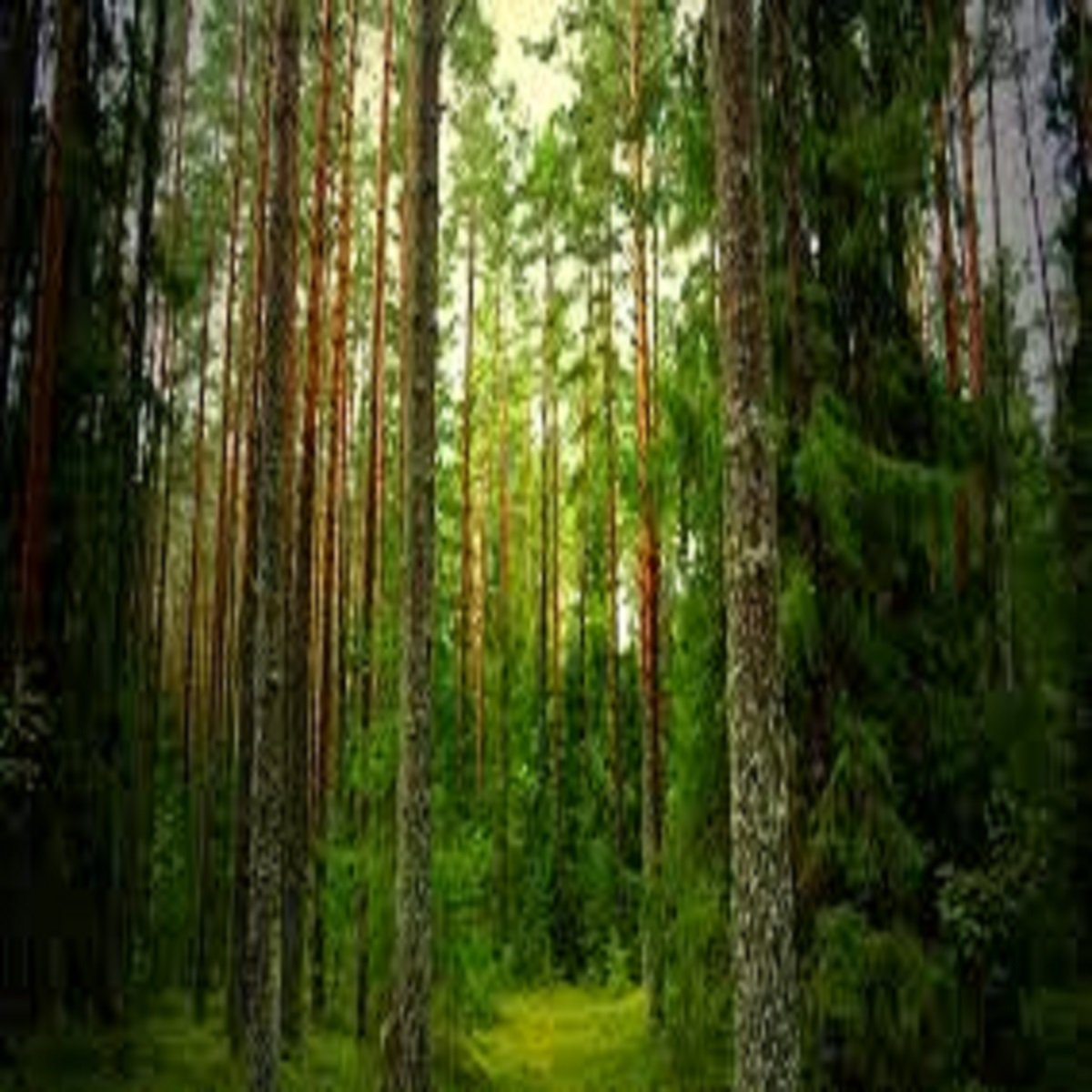 PINE FOREST FRAGRANCE OIL - 8 OZ - FOR CANDLE & SOAP MAKING BY VIRGINIA CANDLE SUPPLY - FREE S&H IN USA