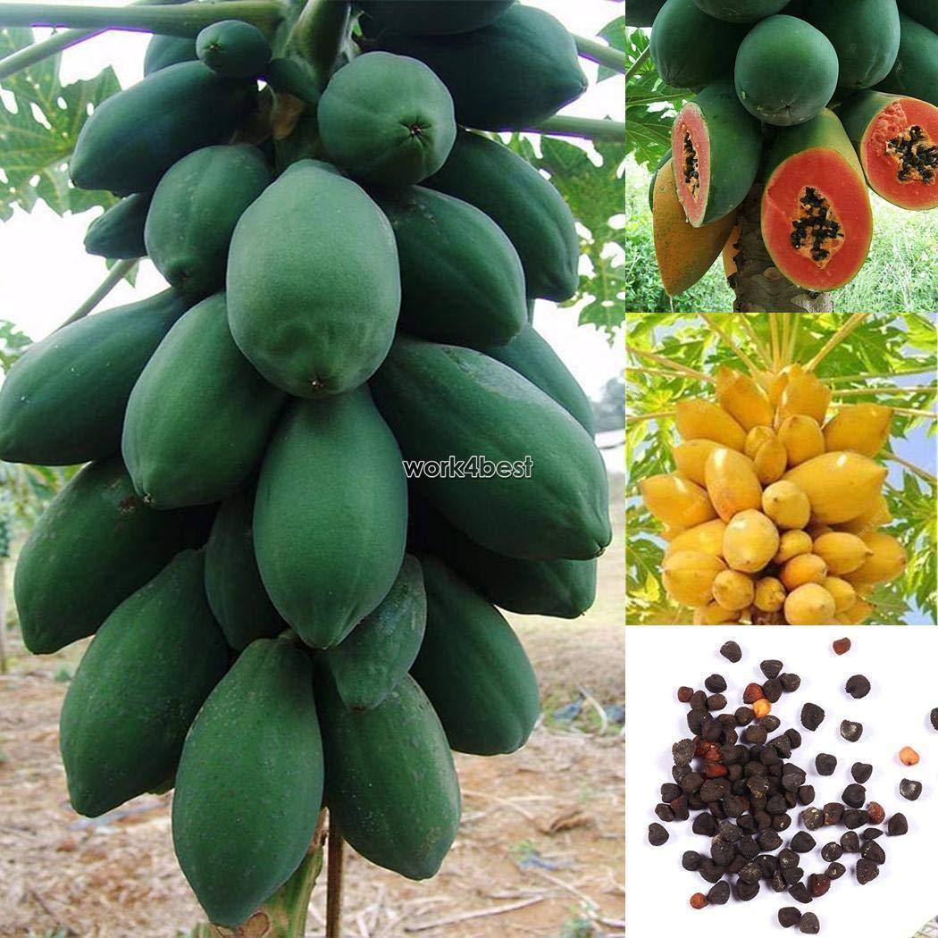 Portal Cool 50Pcs 20//50Pcs Sweet Papaya Seeds Tropic Organic Fruit Seeds Plant Garden WST