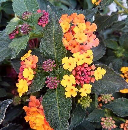 Amazoncom Lantana Elegance Plant Pink And Yellow Flowers