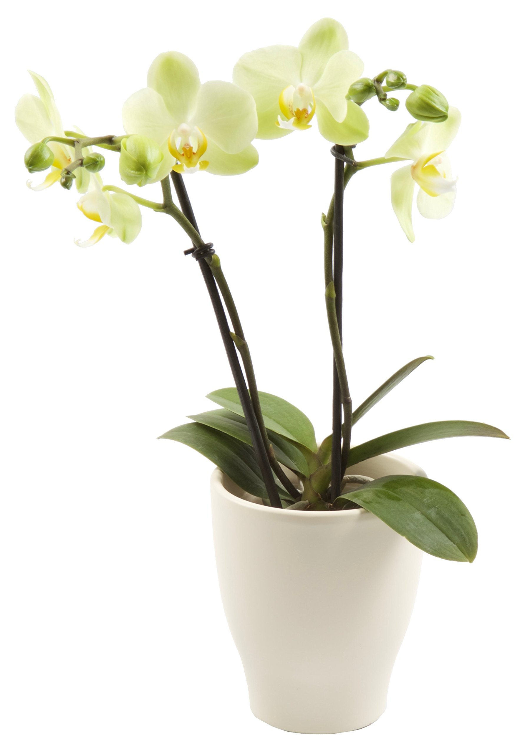Color Orchids Live Blooming Double Stem Phalaenopsis Orchid Plant in Ceramic Pot, 15''-20'' Tall, Yellow Blooms