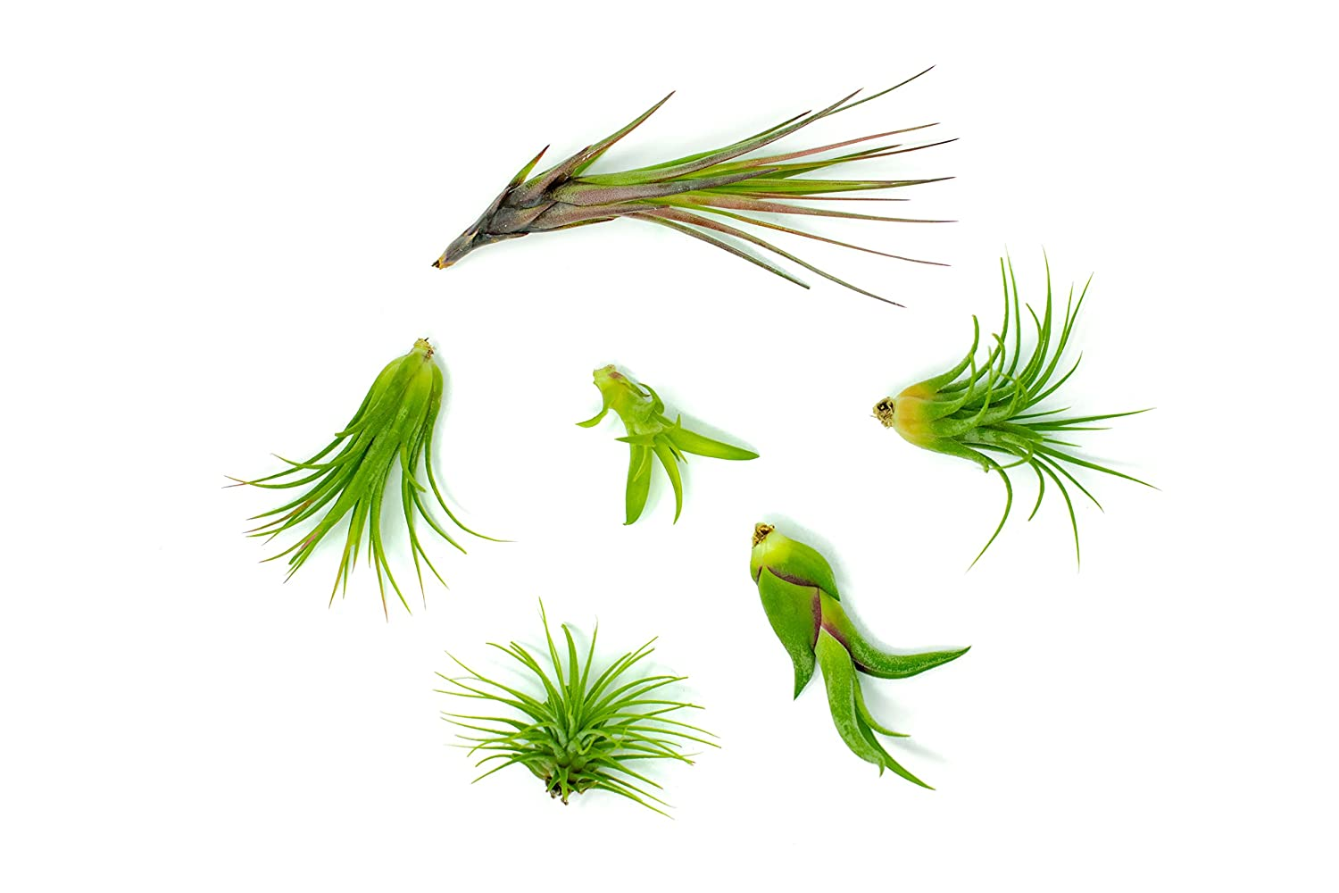 6 Air Plant Variety Pack - Small Tillandsia Terrarium Kit - Assorted Species of Live Tillandsia Tropical House Plants for Sale, 2 to 5 Inches Each - Air Plants for Indoor Home Decor: Grocery & Gourmet Food