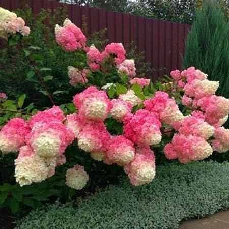 Amazon Com Lekofo Seed House 30 Pieces Hydrangeas Annabelle