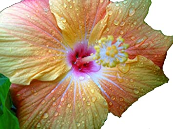 Paradise Tropical Hibiscus Live Plant Large Fancy Single Changing Orange Yellow Red Flower Landscape Type Starter Size 4 Inch Pot Emerald Tm