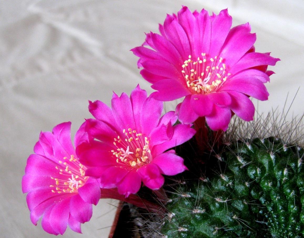 Amazon Rebutia Violaciflora Stunning Pink Flowers Crown
