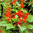 Package of 800 Seeds, Scarlet Red Sage (Salvia coccinea) Non-GMO Seeds by Seed Needs