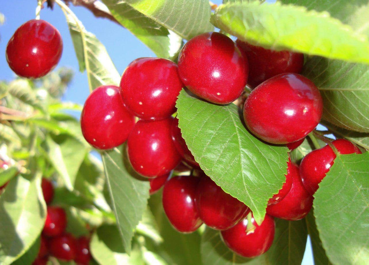 Organic Bing Cherries, 15 Pounds - California Sun-Dried Sour Cherries, Non-GMO, Kosher, Putted, Tart, Unsweetened, Unsulfured, Non-Infused, Non-Oil Added, Non-Irradiated, Vegan, Raw, Bulk by Food to Live (Image #1)