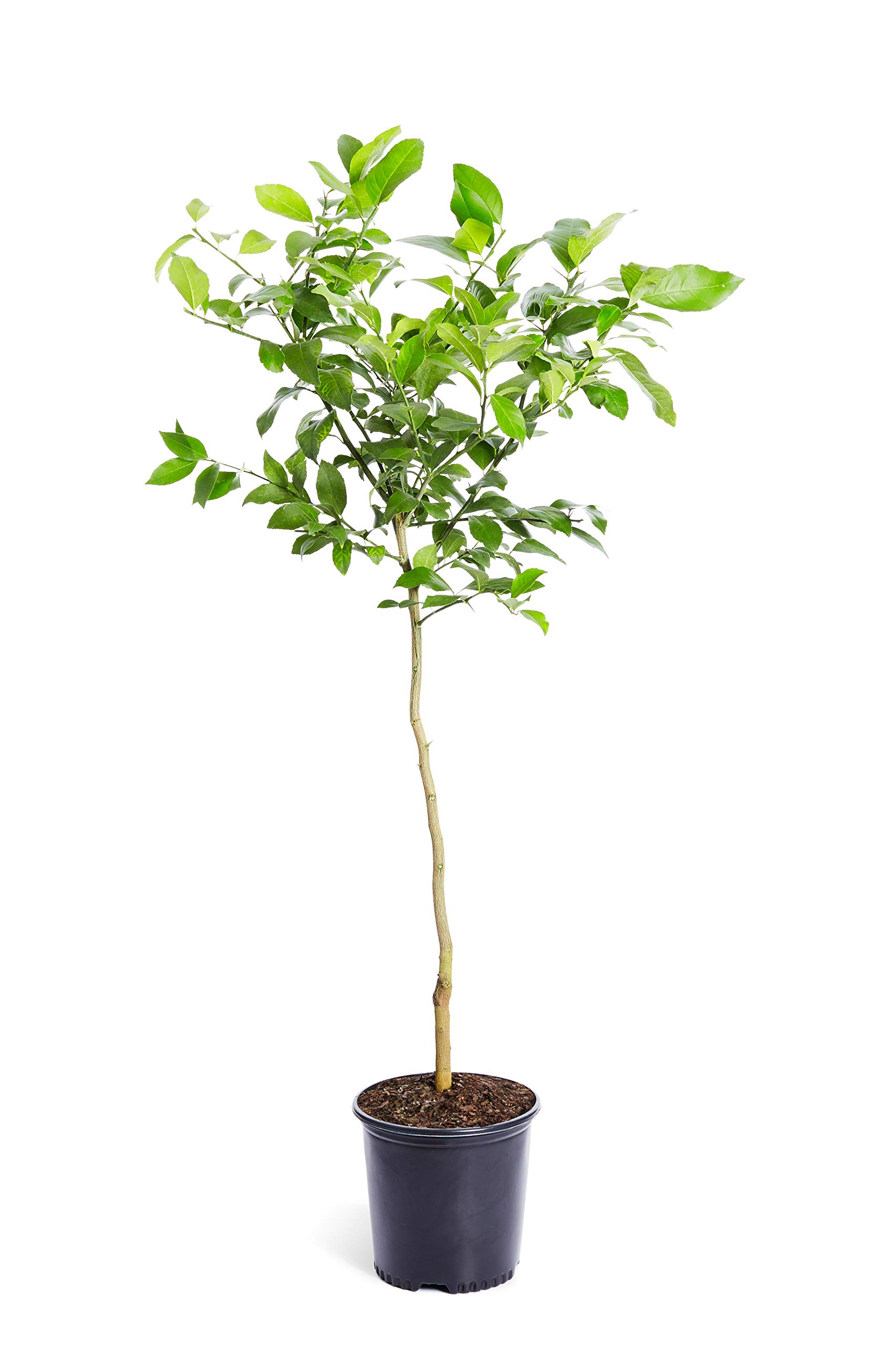 Improved Meyer Lemon Tree- Dwarf Fruit Trees - Indoor/Outdoor Live Potted Citrus Tree - 3-4 ft. - Cannot Ship to FL, CA, TX, LA or AZ