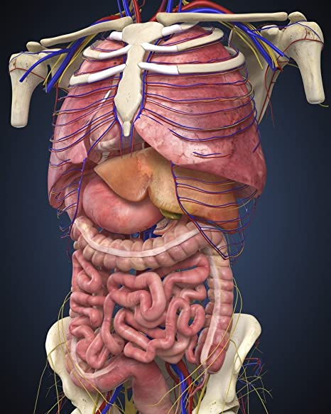 Posterazzi Midsection View Showing Internal Organs Of Human Body Poster Print 12 X 16 Posters Prints
