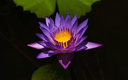Amazoncom 10 Purple Color Lotus Flower Seeds Fresh Purple Color