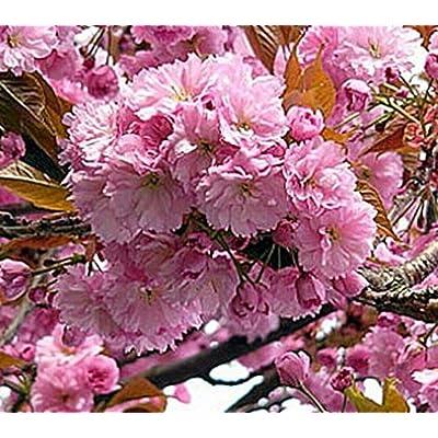AchmadAnam - Live Plant - 5 - Flowering Cherry KWANZAN Double Pink Tree 3-4 ft : Garden & Outdoor