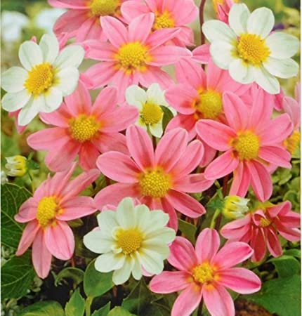 2 packs of dahlia topmix pink white summer flowering bulbs approx 2 packs of dahlia topmix pink white summer flowering bulbs approx 2 bulbs per mightylinksfo